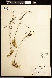 Solidago nana image