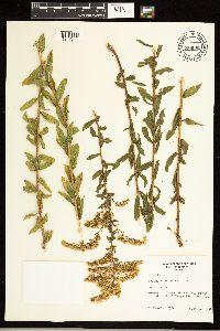 Solidago odora subsp. chapmanii image