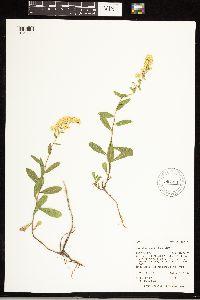 Solidago velutina subsp. sparsiflora image