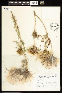 Cirsium brevifolium image