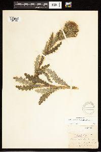 Cirsium brevistylum image