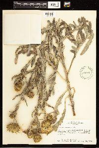 Cirsium canescens image