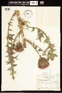 Cirsium drummondii image