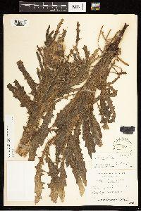 Cirsium foliosum image