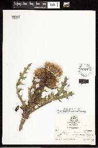 Cirsium horridulum image