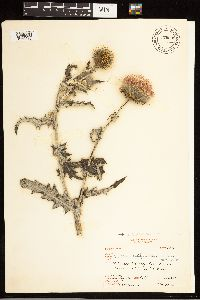 Cirsium occidentale var. californicum image
