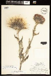 Cirsium occidentale var. coulteri image