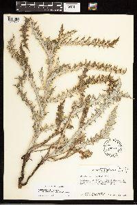 Cirsium ochrocentrum image