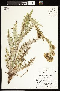 Cirsium pulcherrimum image