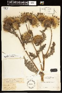 Cirsium remotifolium image