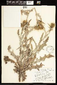 Cirsium tracyi image