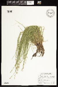 Image of Carex brunnescens