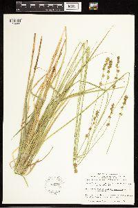 Carex divulsa image