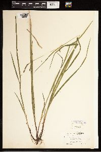 Carex gracillima image
