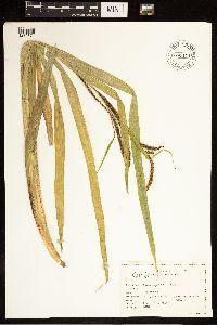 Carex amplifolia image