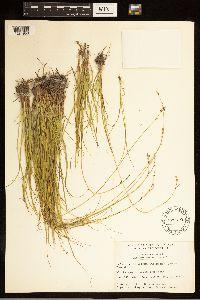 Carex lapponica image