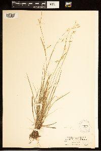 Carex capillaris image