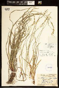 Carex communis image