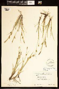 Carex tetanica image