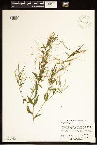 Epilobium ciliatum var. ciliatum image