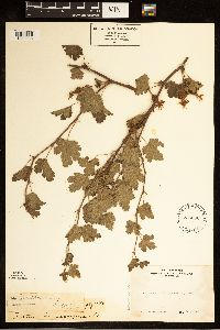 Image of Ribes mariposanum