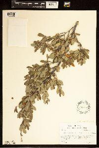 Cercocarpus breviflorus image