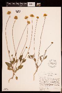 Heliomeris soliceps image