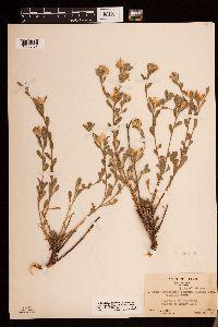 Heterotheca fulcrata var. senilis image
