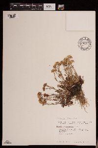 Packera hyperborealis image
