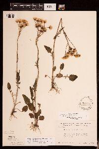 Packera plattensis image