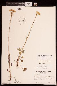 Packera pseudaurea var. semicordata image