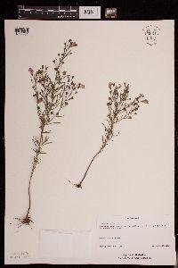 Image of Agalinis tenuifolia