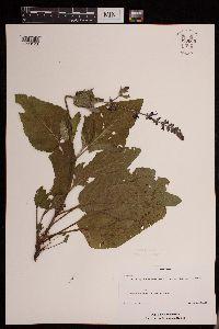 Salvia x sylvestris image