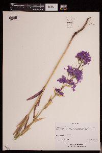 Image of Hesperis pycnotricha