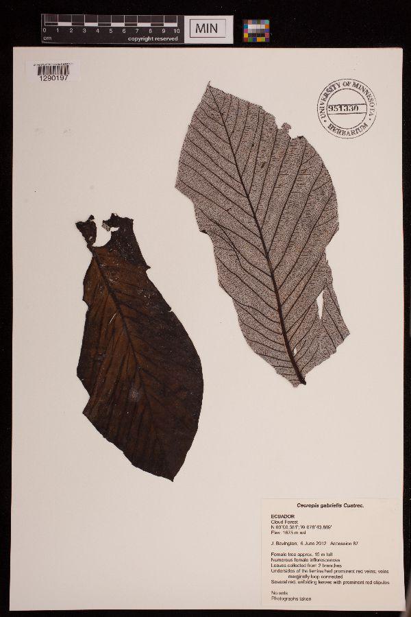 Cecropia gabrielis image