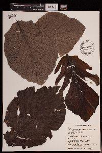 Image of Cecropia polystachya