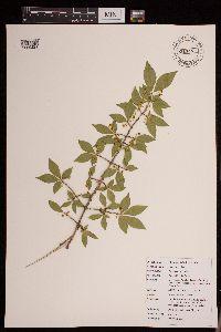 Image of Euonymus alatus