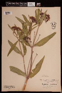 Image of Asclepias incarnata