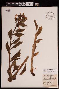 Image of Mertensia brachyloba