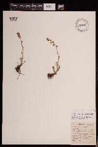 Hymenopappus parvulus image