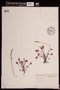 Image of Drosera rotundifolia