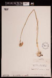 Image of Allium stellatum