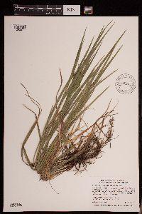 Carex intumescens image