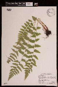 Image of Dryopteris cristata