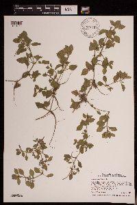 Image of Ludwigia palustris