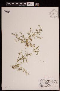 Image of Mollugo verticillata