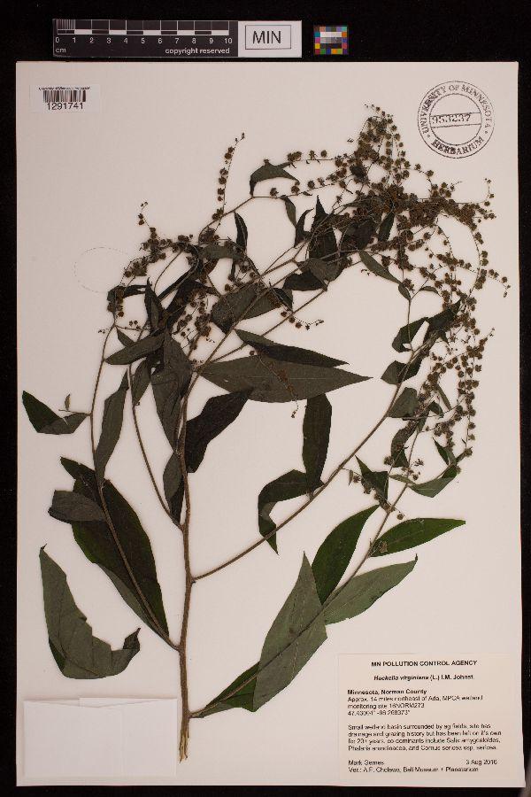 Hackelia image