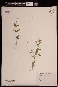Image of Moehringia lateriflora