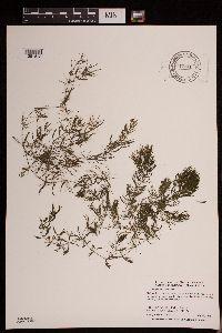 Image of Ceratophyllum demersum