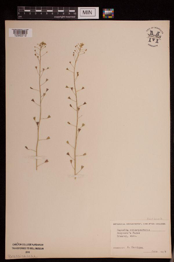Capsella image